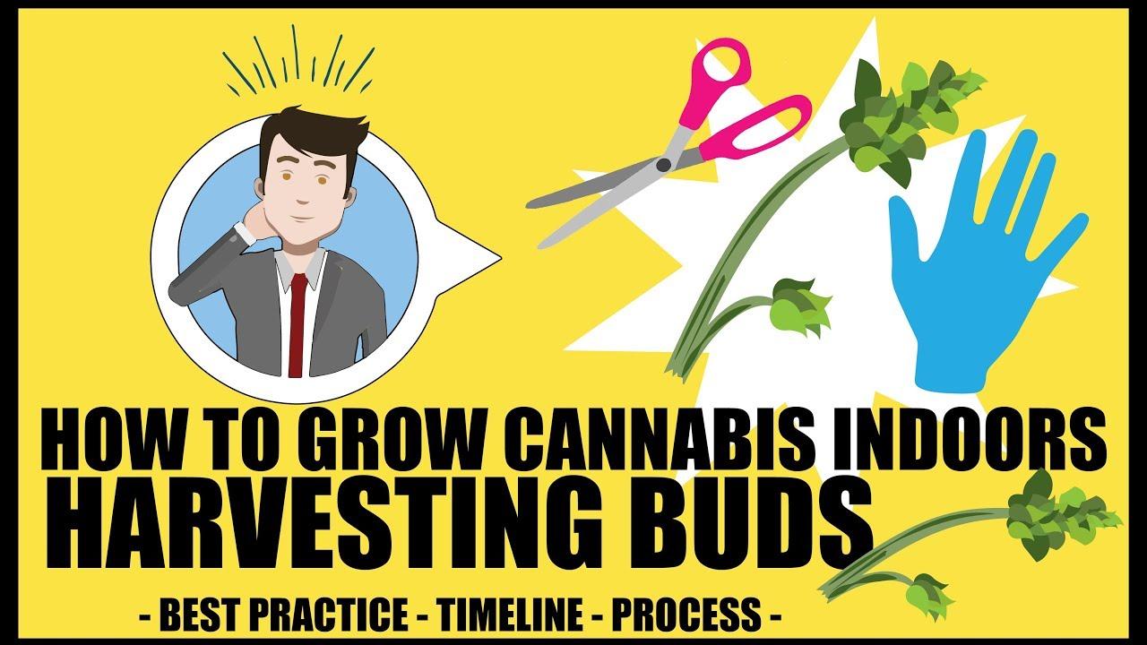 Harvesting Cannabis Plants