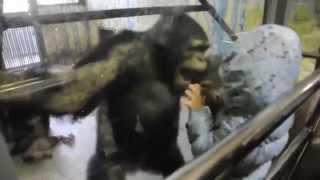 Никто не ожидал такого от шимпанзе)))