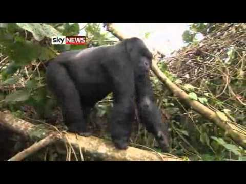 orphaned baby gorilla saved from poachers youtube