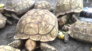 African Spur-Thigh Tortoises by David Barkasy