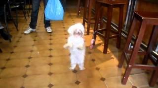 Perro Bichon Maltes bailando