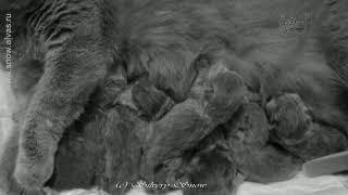 Newborn babycats. British shorthair. Британские новорожденные.