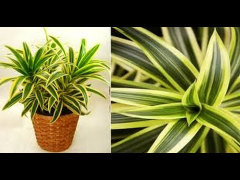 How to grow indoor plant || How to Grow Dracaena Reflexa Plant | Song of India plant tips & Care