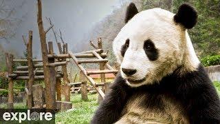 Gengda Valley Panda Cam powered by EXPLORE.org thumbnail