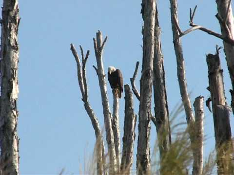 American Bald Eagle Sighting