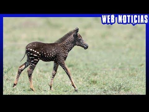 zebra-nasce-com-bolinhas,-em-vez-de-listras