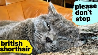Please don't stop | British shorthair #10