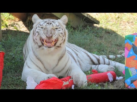 Holiday Gifts For The Big Cats