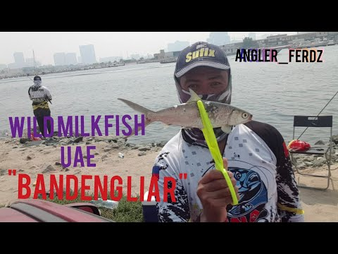WILD MILKFISH FISHING || AJMAN UAE (BANGUS) With