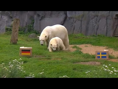 مونديال روسيا | دبّة قطبية تتوقع الفائز بين ألمانيا والسويد…  - 18:21-2018 / 6 / 22