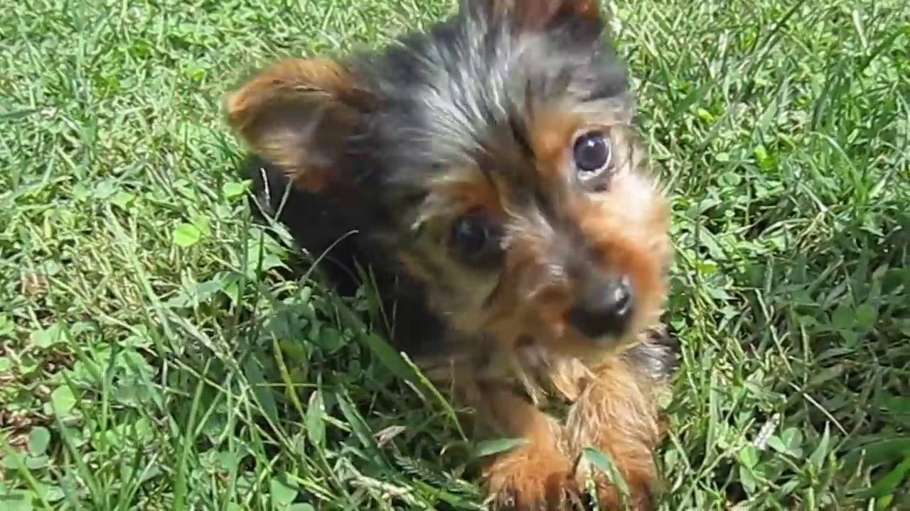 Teacup And Small Yorkies For Sale In Missouri 1 Hr From St Louis