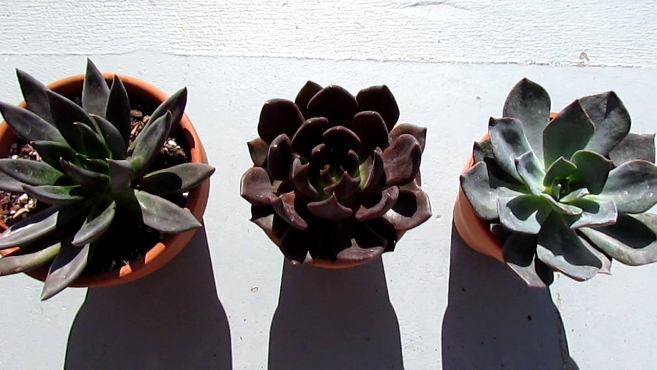 Comparison Of Echeverias Black Knight Prince And Blue Succulents