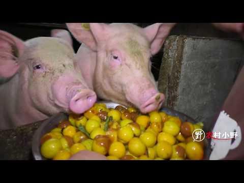 小野把吃不完的果子喂猪,猪哥看到直接抢着吃,不能浪费了!