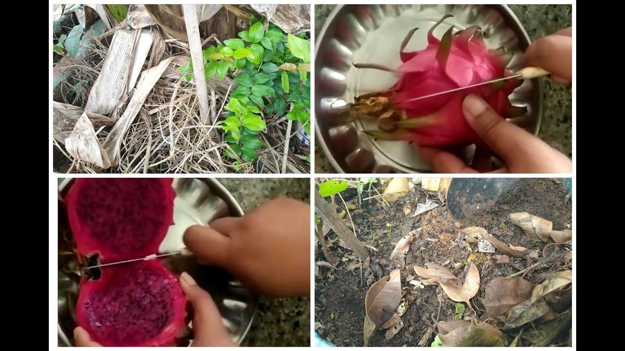 Mulching:ఎండిన ఆకులు వేశాము కదా Next ఏంటి/kitchen compostతొ dragon fruit/ఆకుల కింద insectsఎలా