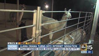 llama drama turns to internet sensation