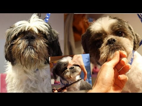 PetGroooming - Cute Shih Tzu with short Ears