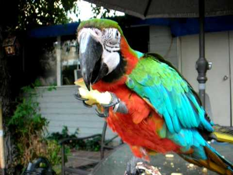 Rembrandt the Macaw