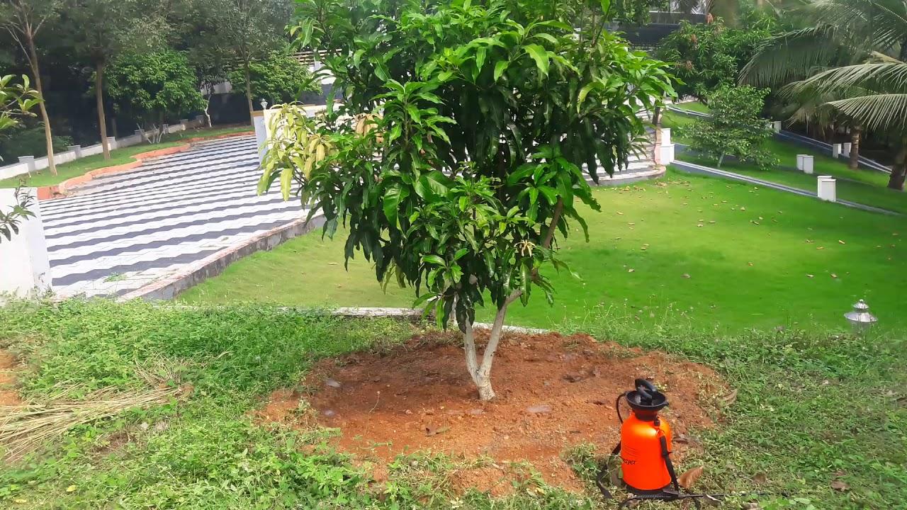 Nam Doc Mai Mango Tree Nellickal Nursery 9946709899