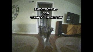 Leopold vs Tiny Whoop(Leopold loves chasing and slapping my Tiny Whoop. Follow Leopold on instagram: https://www.instagram.com/prince_leopold_/ Tiny Whoop Specs: Inductirx ..., 2017-01-30T06:25:11.000Z)