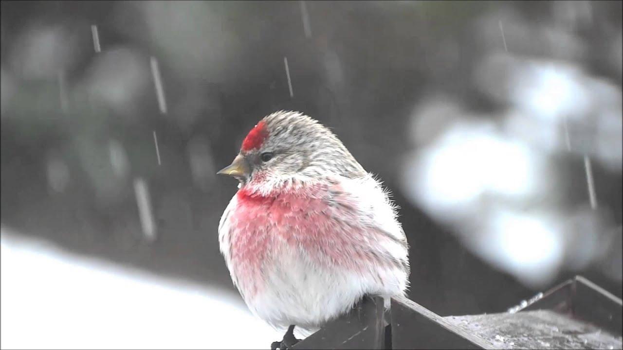 ベニヒワ Common redpoll - YouT...