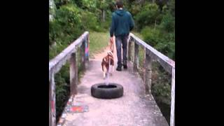 Germano. American Pit Bull Terrier. Pulling Tire.