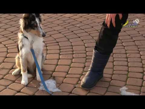 Упражнение с миской, щенок шелти, дрессировка воспитание развитие