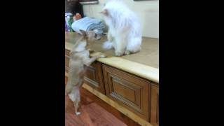 Angry cute persian cat slaps Chihuahua dog Thumbnail