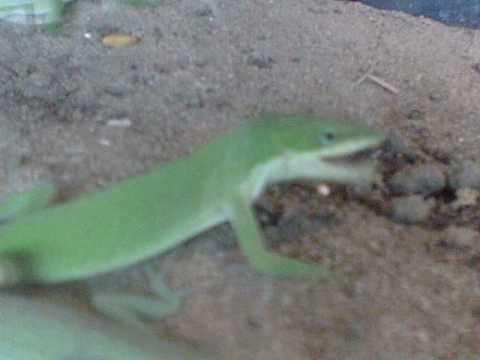 lizard eats fly
