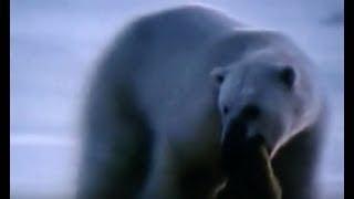 ホッキョクグマが可愛いワモンアザラシの子供を襲い捕食する映像