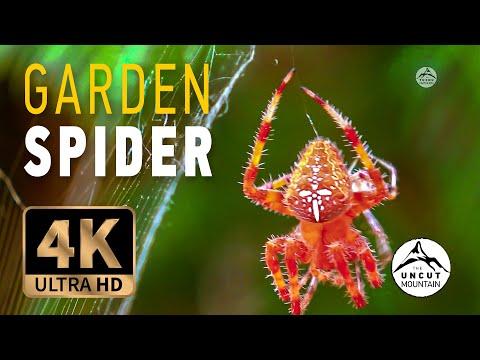 The European garden spider Araneus diadematus in 4K