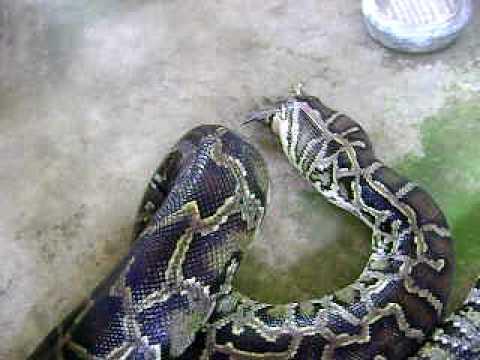 Biggest Python  In Maribojoc Bohol