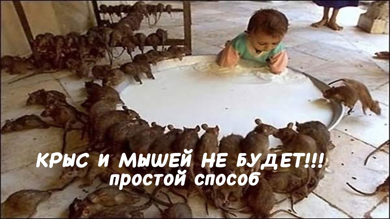КРЫС И МЫШЕЙ НЕ БУДЕТ! Простые способы избавиться от крыс и мышей