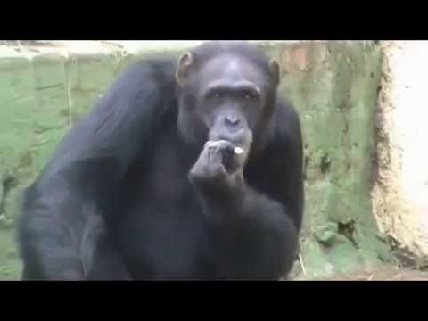 Meet Azalea, North Korea's cigarette-smoking chimpanzee — Internet's latest sensation