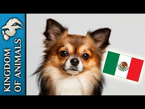 Chihuahua - a TINY dog with a HUGE personality