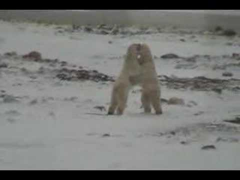 Polar Bears of Churchill, Manitoba, Canada