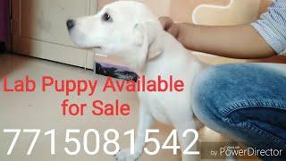 Lab Male puppy sale in Mumbai,Navi Mumbai