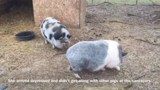 Neglected pigs find 'love at first sight' at Manchester sanctuary