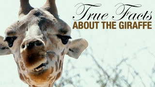 True Facts: The Wacky Giraffe