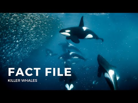 Facts about the Killer Whale (Orca)