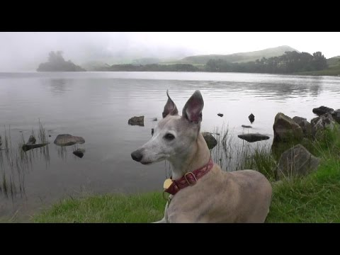 Lola Whippet Camping Wales