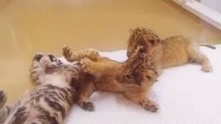 アフリカンサファリ #トラとライオンの赤ちゃん.