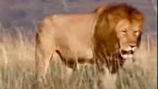 king lion pride in africa   bbc wildlife