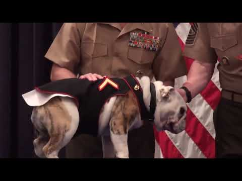 Sgt. Chesty XIII & Lance Cpl. Chesty XIV -- Marine Corps Mascots