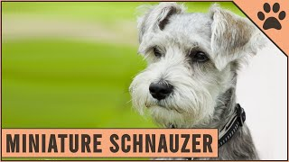 Miniature Schnauzer  Dog Breed Information