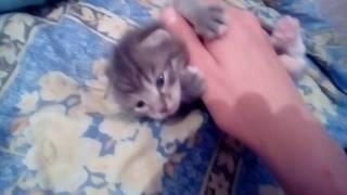 Котёнок серый