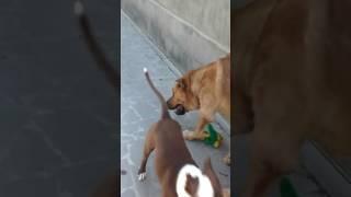 Kangal vs Pitbull  (  fight for toys)