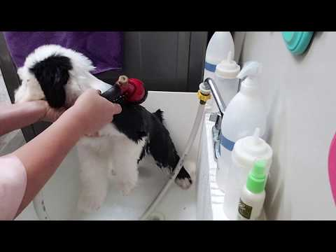 Gracyn The Sheepdog Puppy's first REAL  bath