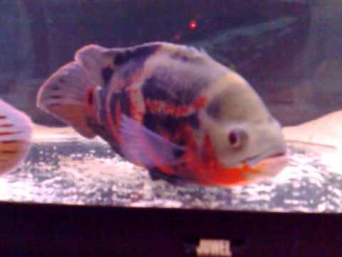 How fish fertilized eggs