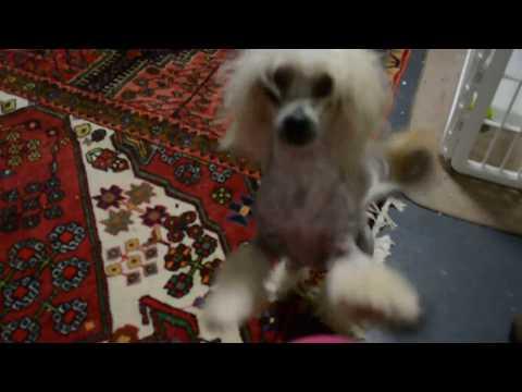 Hairless Chinese Crested dog versus hairless cat 9 7 17