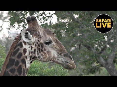 safariLIVE - Sunrise Safari - May 21, 2019 (Part 2)